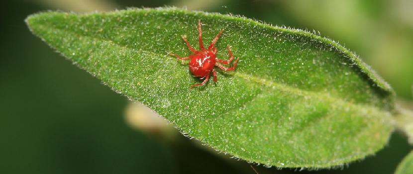CONTROL BIOLOGICO DE PLAGAS Y ENFERMEDADES DEL MAIZ- araña roja