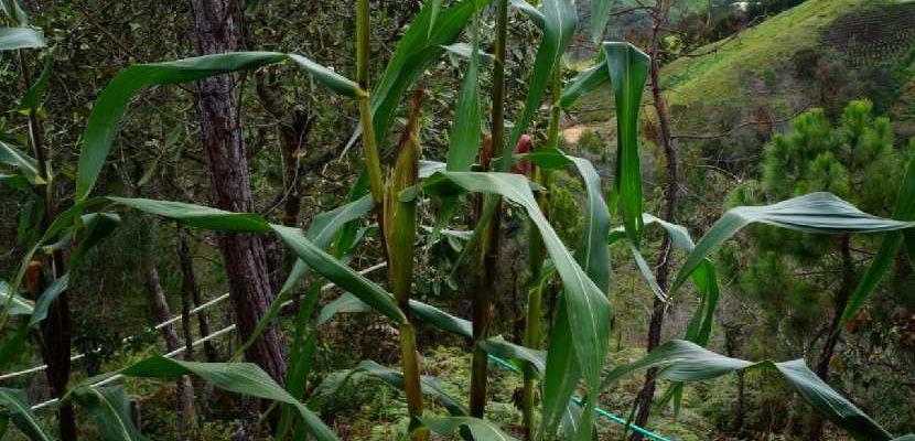 Control biológico de plagas maíz