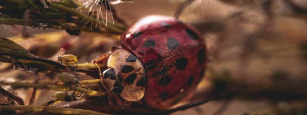 mariquita control biologico plagas
