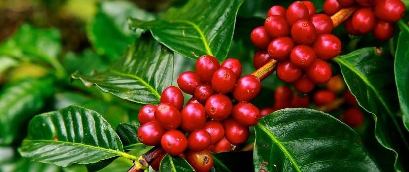 abono orgánico líquido café
