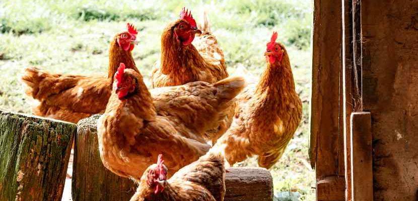 la gallinaza como abono orgánico