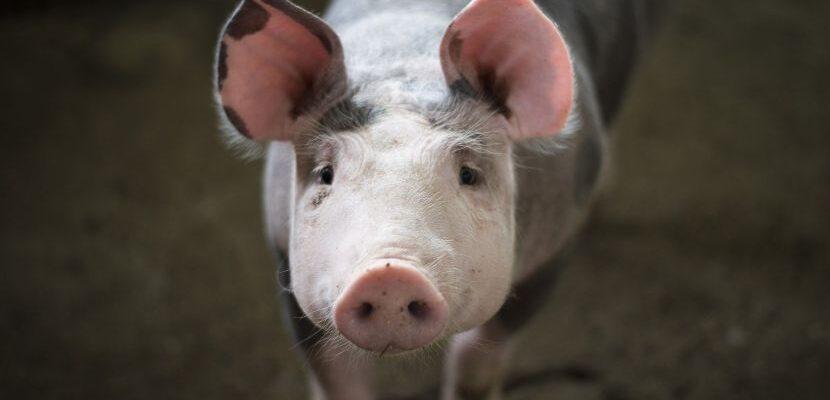 abono orgánico de cerdo